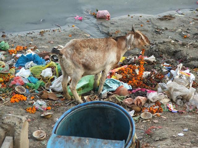 capra a Varanasi