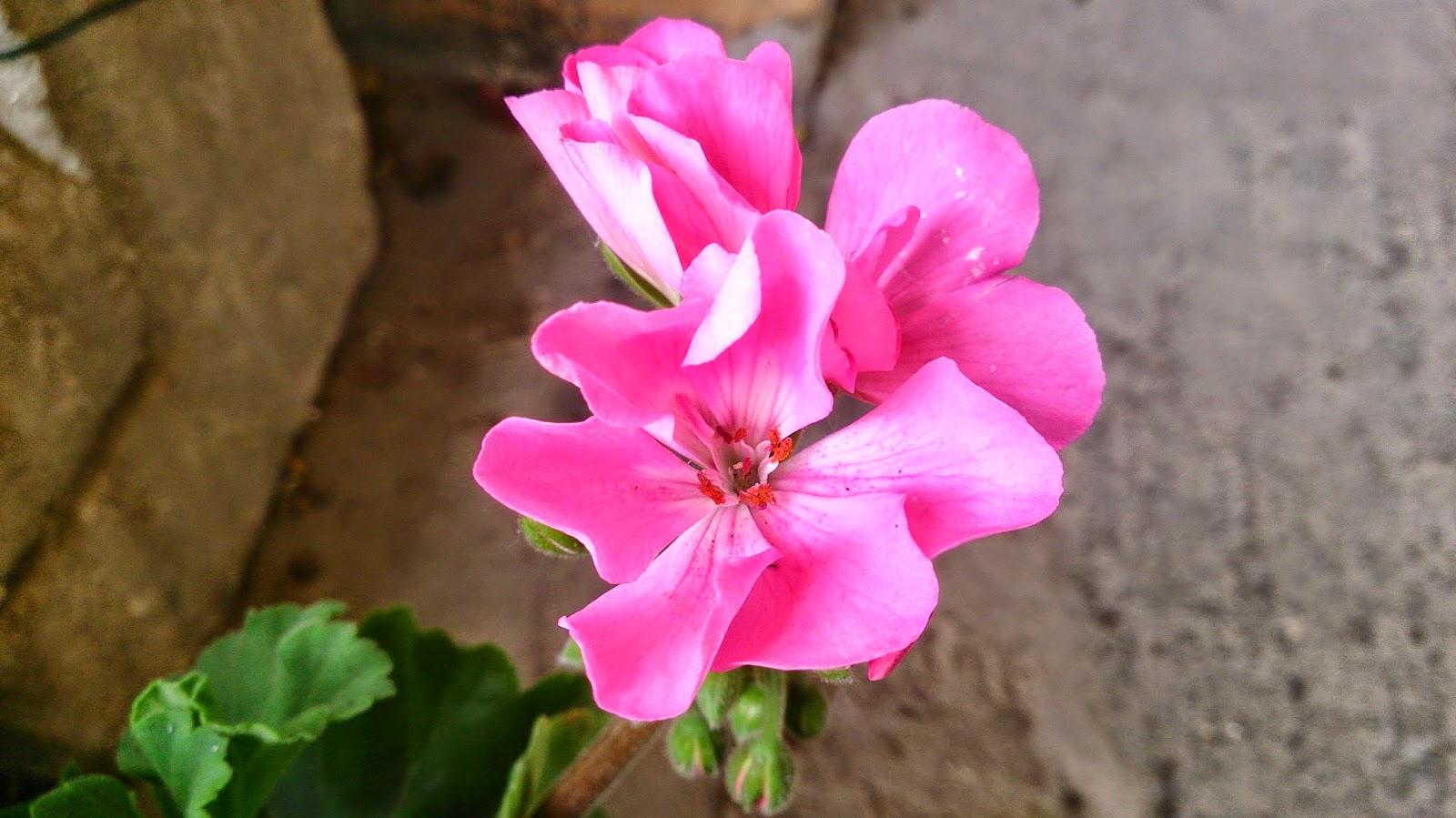 Verbena Flower Meaning images