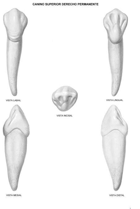 Anatomía Dental 1: Caninos
