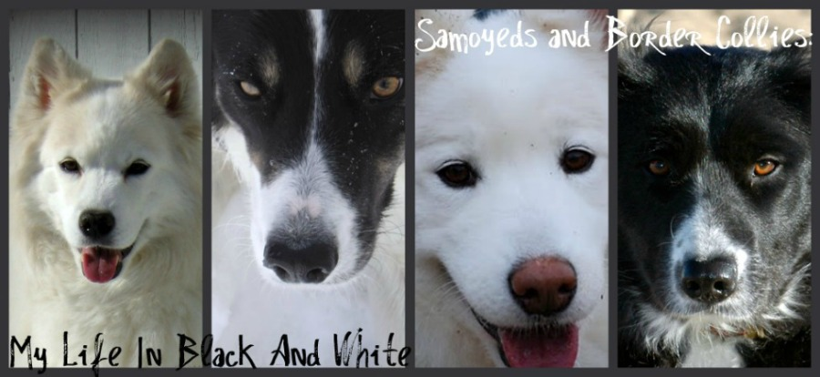 Samoyeds and Border Collies:  My Life In Black And White