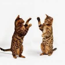 Berilah Aku Kado Sepasang Kucing Ras Catatan Rose
