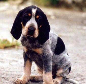 Dog Blog Dog Breed: Grand Bleu de Gascogne Dog Breed Photos