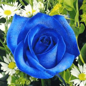 Gambar Bunga mawar biru cantik