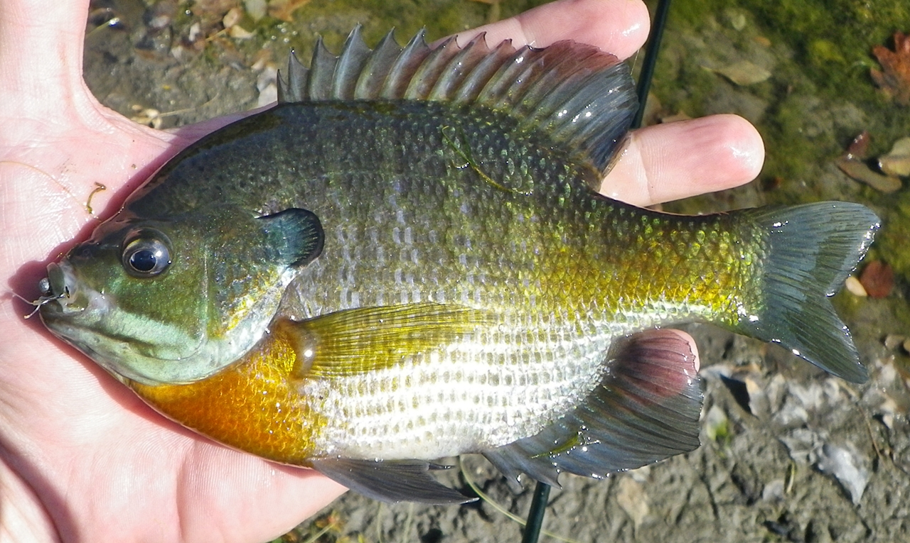 Fishndave lunchtime fishing report 10 11 2011 for Blue gill fishing