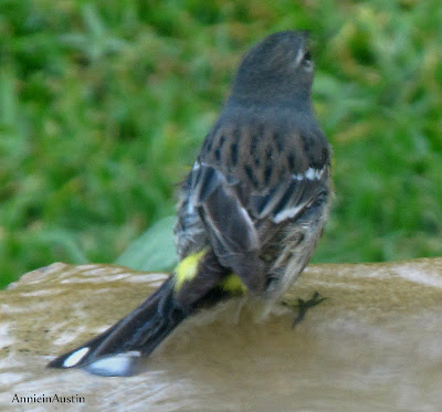 Annieinaustin, maybe Yellow-rumped warbler
