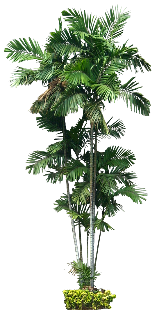 Tropical Plant Pictures: Ptychosperma macarthurii