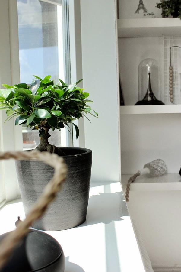 citronfikus, blomma, växt, blomsterlander, gröna växter, bonsai, på stam, vit inredning, vitt fönster, vita, svartvitt, svart och vitt, svarta och vita, dekoration, inredning,