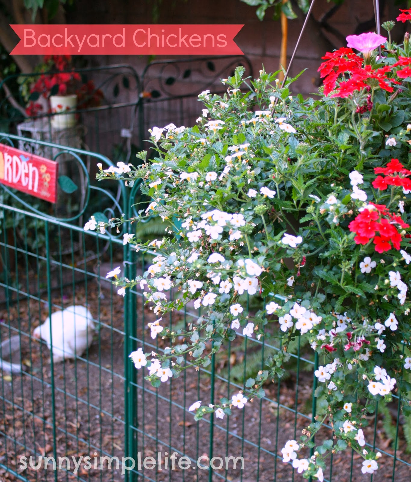 sunny simple life backyard chickens update