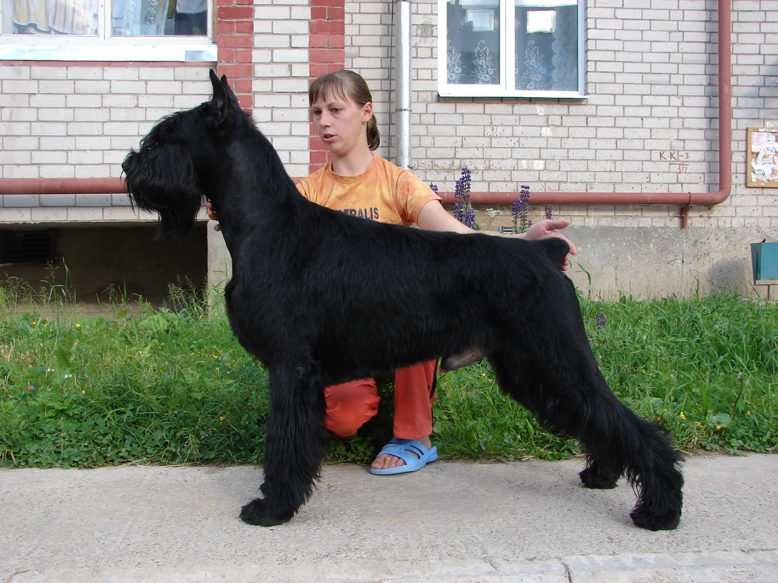 liste des chiens de garde chien de garde. Black Bedroom Furniture Sets. Home Design Ideas