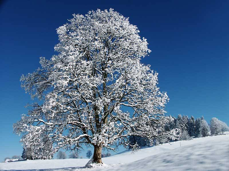 winter and snow trees - photo #23