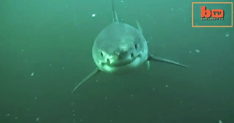 Great white shark chasing an underwater towed camera