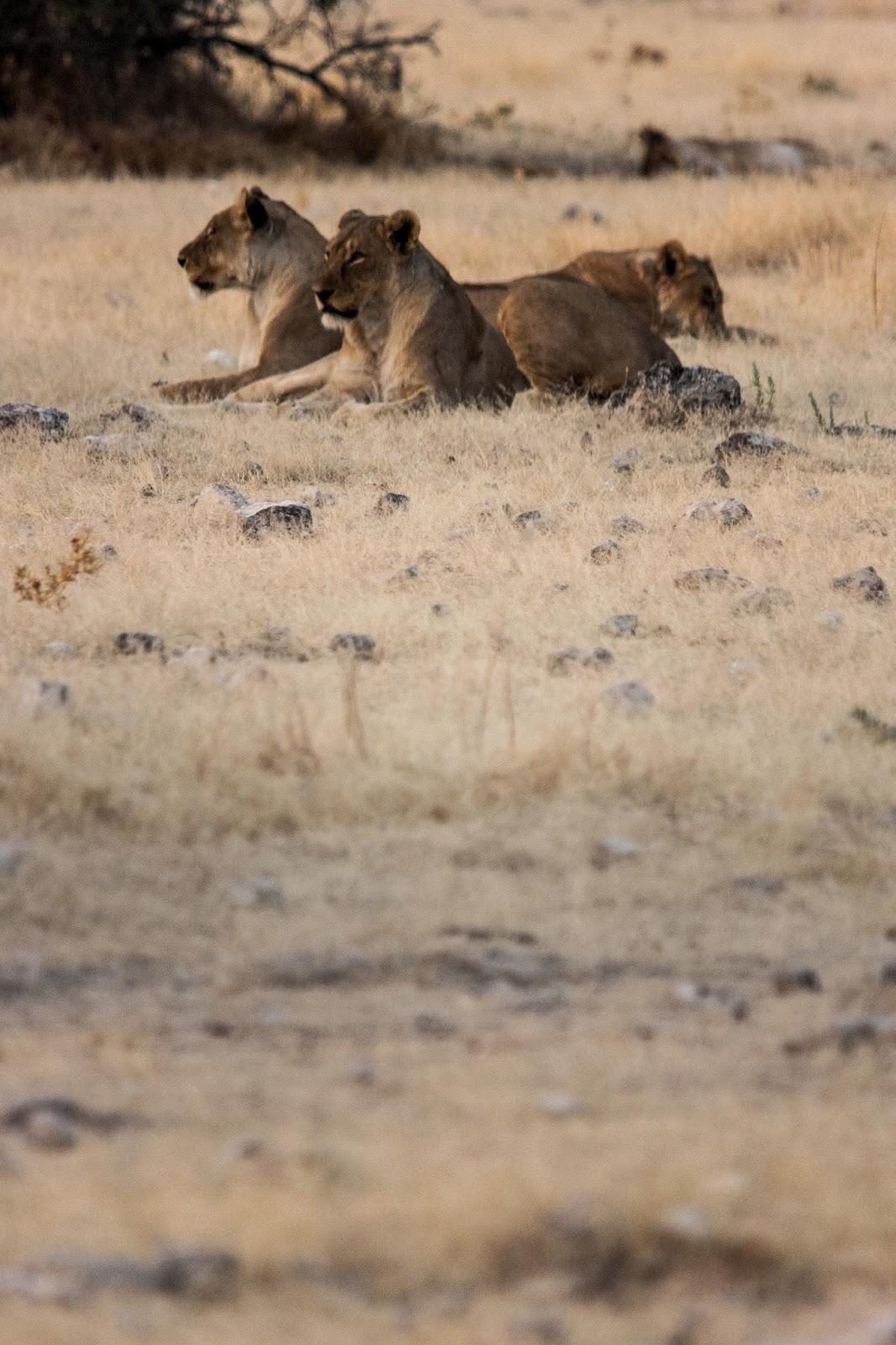 lions pride etosha namibia