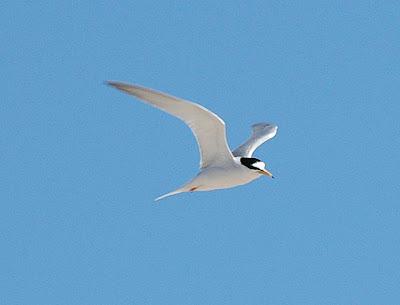 神話之鳥:黑嘴端鳳頭燕鷗