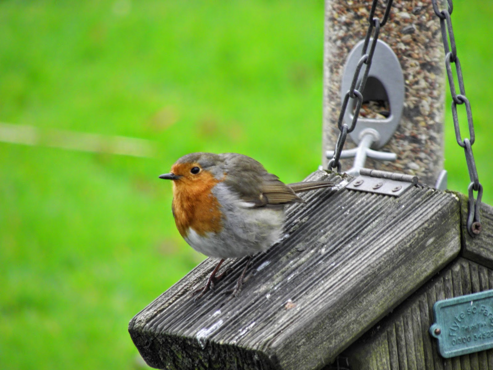 Robin enjoying some seed