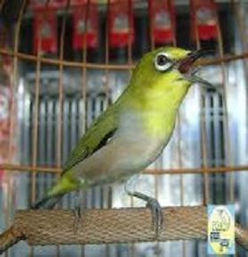 Burung Pleci.jpg | Gambar Burung Pleci Gacor | Burung Pleci.jpg