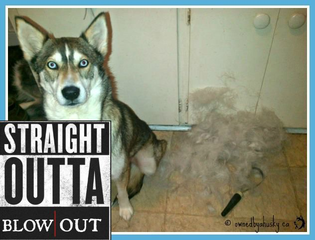 Straight Outta Blowout! Siberian Huskies