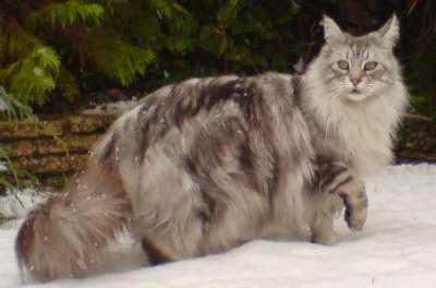 merawat-kucing-maine-coon_6543258