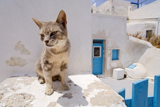 Greek Aegean Cat