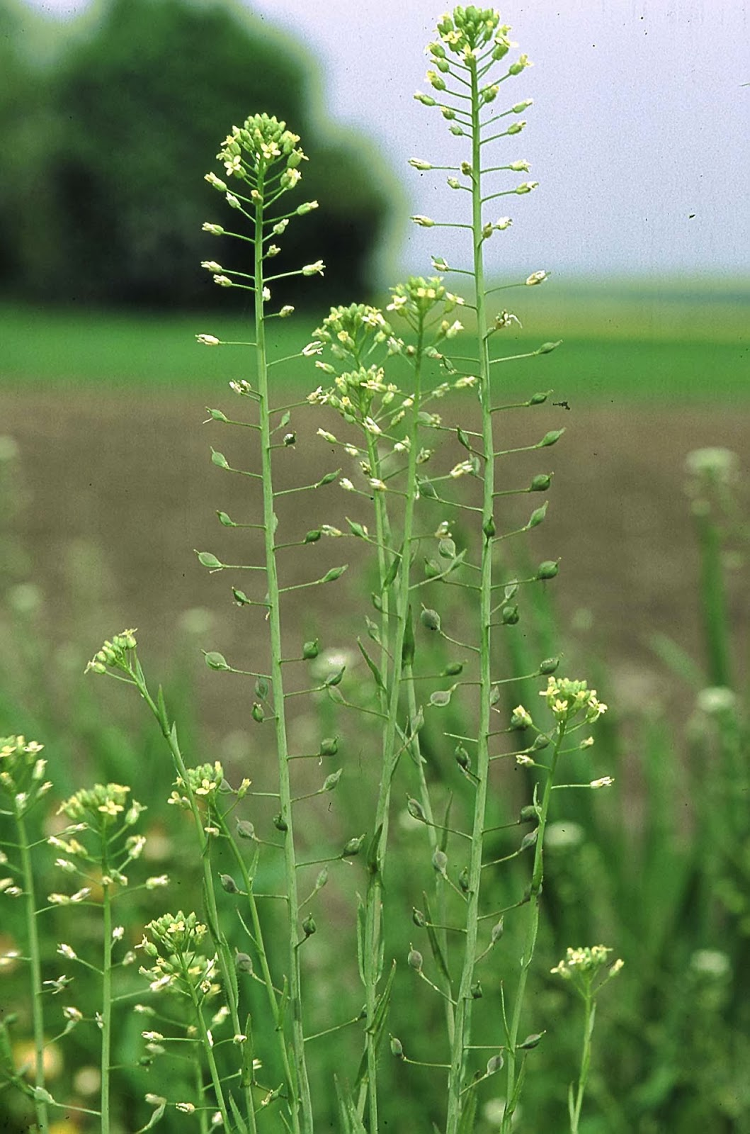 picture of camilina sativa plant