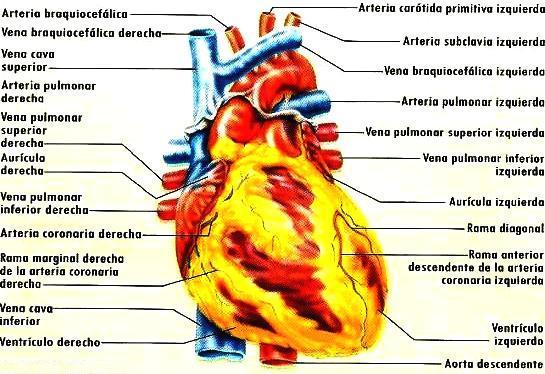 Ilustración del corazón del cuerpo humano señalando sus partes