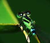 My Damselfly Collection