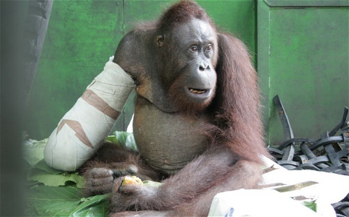 Orangutan Pelansi after surgery in Ketapang, Indonesia. Photo courtesy of International Animal Rescue Indonesia