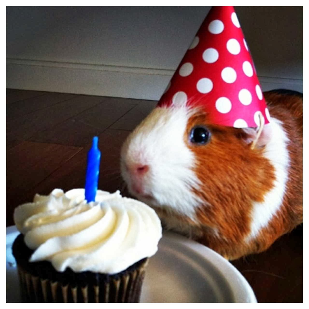 Funny animals of the week - 10 January 2014 (35 pics), guinea pig wears party hat