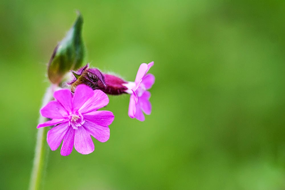 Campion - Loughton Valley Park, Milton Keynes