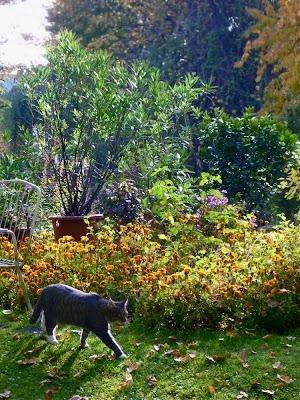 Graue Katze im Beinahe-Gegenlicht vor herbstlicher Blattkulisse