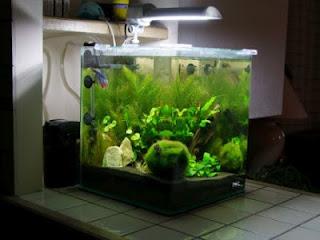 Betta splendens la maintenance d 39 un betta for Poisson aquarium 30l