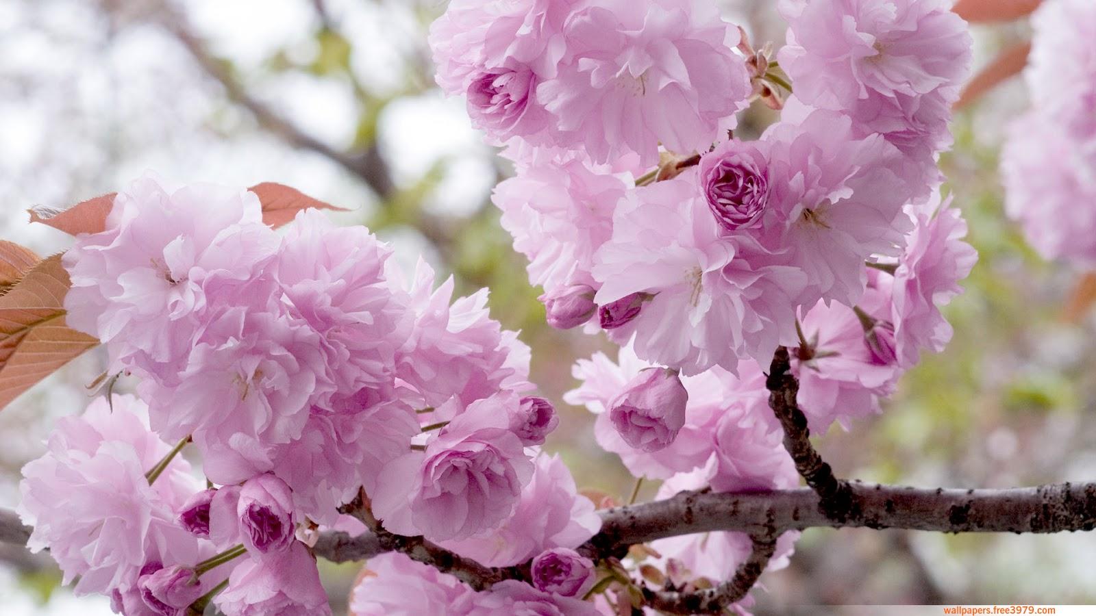 20 Asian Cherry Blossom Flower