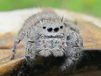 spider xoo