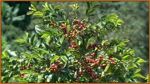 Herbs-Treat and Taste: COFFEE ( COFFEA ARABICA) - HISTORY AND ...