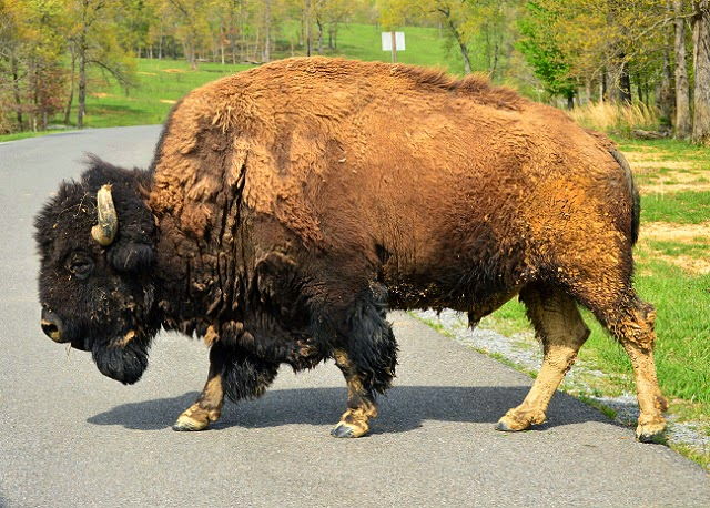Big hairy bison