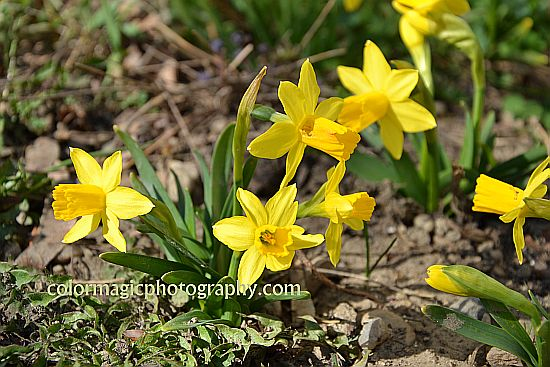 Tete a Tete daffodils-Dwarf Narcissus