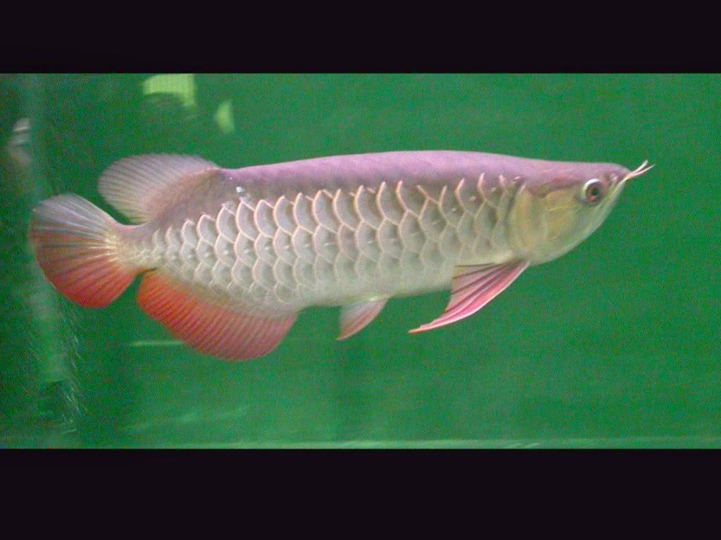 perawatan ikan arwana golden red