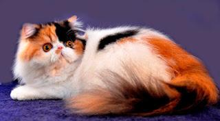 Gambar Kucing Persia Lucu 100019
