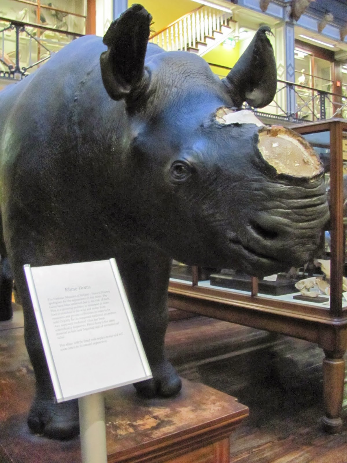 Rhino Waiting for a Nose Job at the Natural History Museum Dublin, Ireland