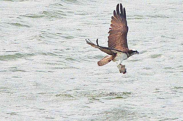 osprey, bird, fish, victory lap