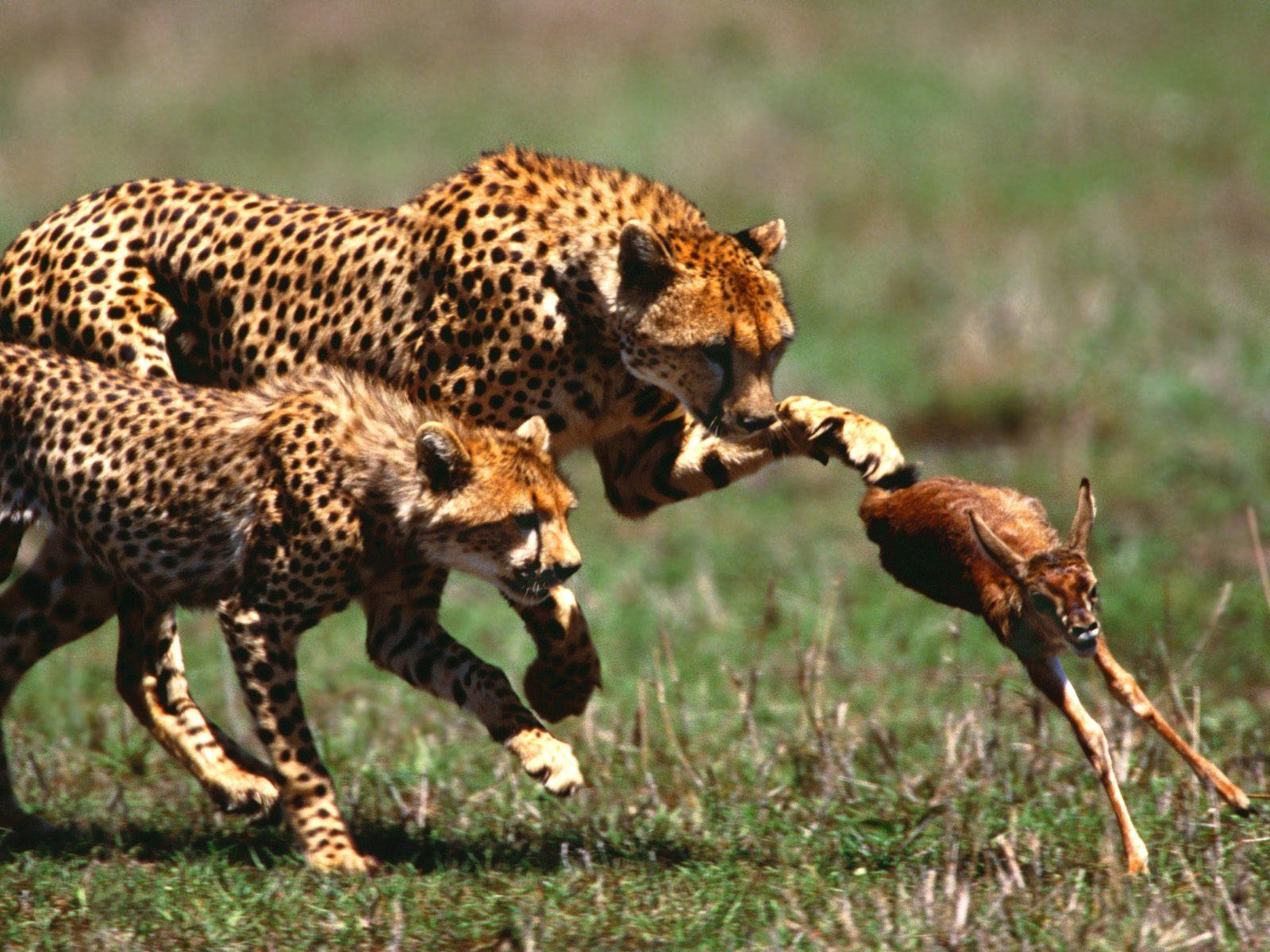 Pictures of cheetahs hunting baby deer
