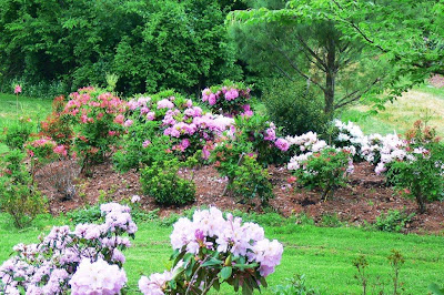 Rhododendrons and azaleas  blooming at BRG in Mississauga Ontario.