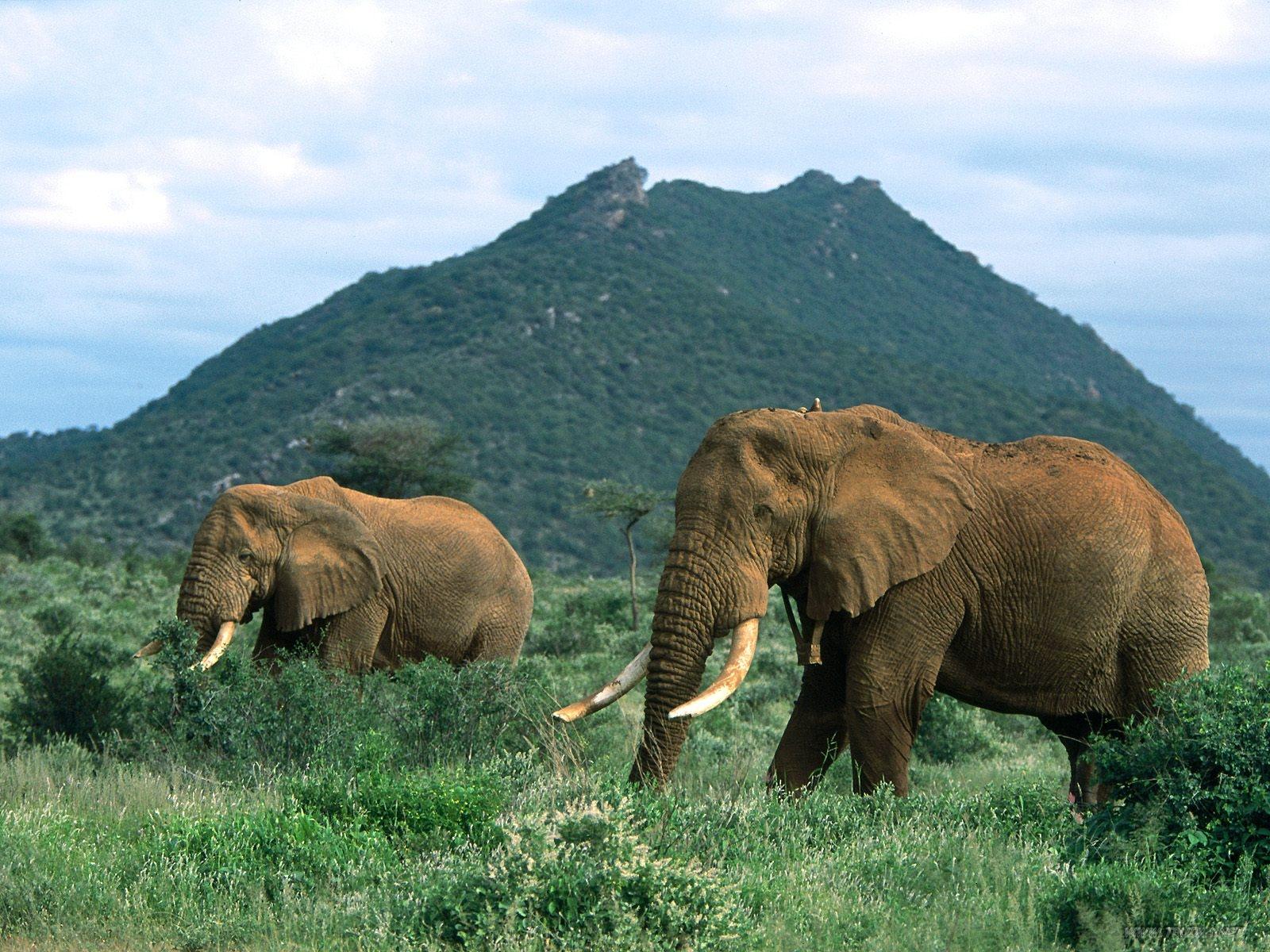 Yellow Wallpaper Elephant
