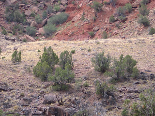 Desert bighorn sheep in Dominguez Canyon (Click for enlargement!)