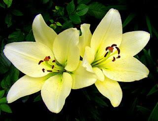 زهرة-صفراء
