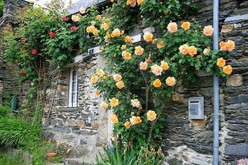 Hoa hồng leo vừa đẹp vừa ngát hương