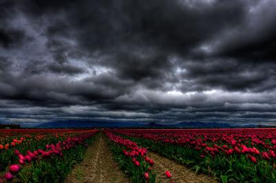 hoa tulip 14