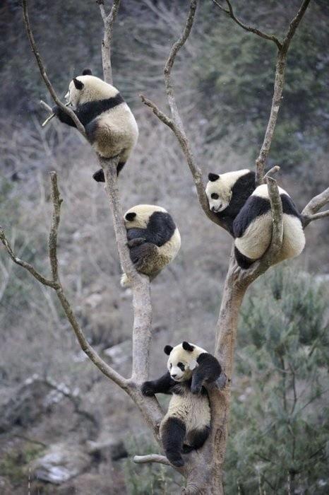 Natural Scene Panda  take rest in the trees