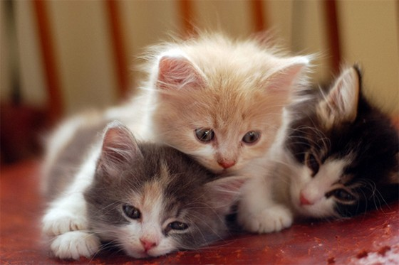 Animal babies beautiful cat cats kittens 4loveimages The three cats