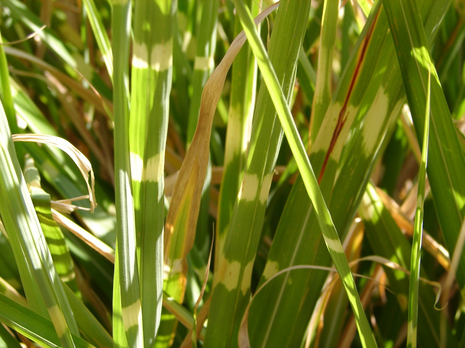 New utah gardener porcupine grass and zebra grass for Yellow ornamental grass