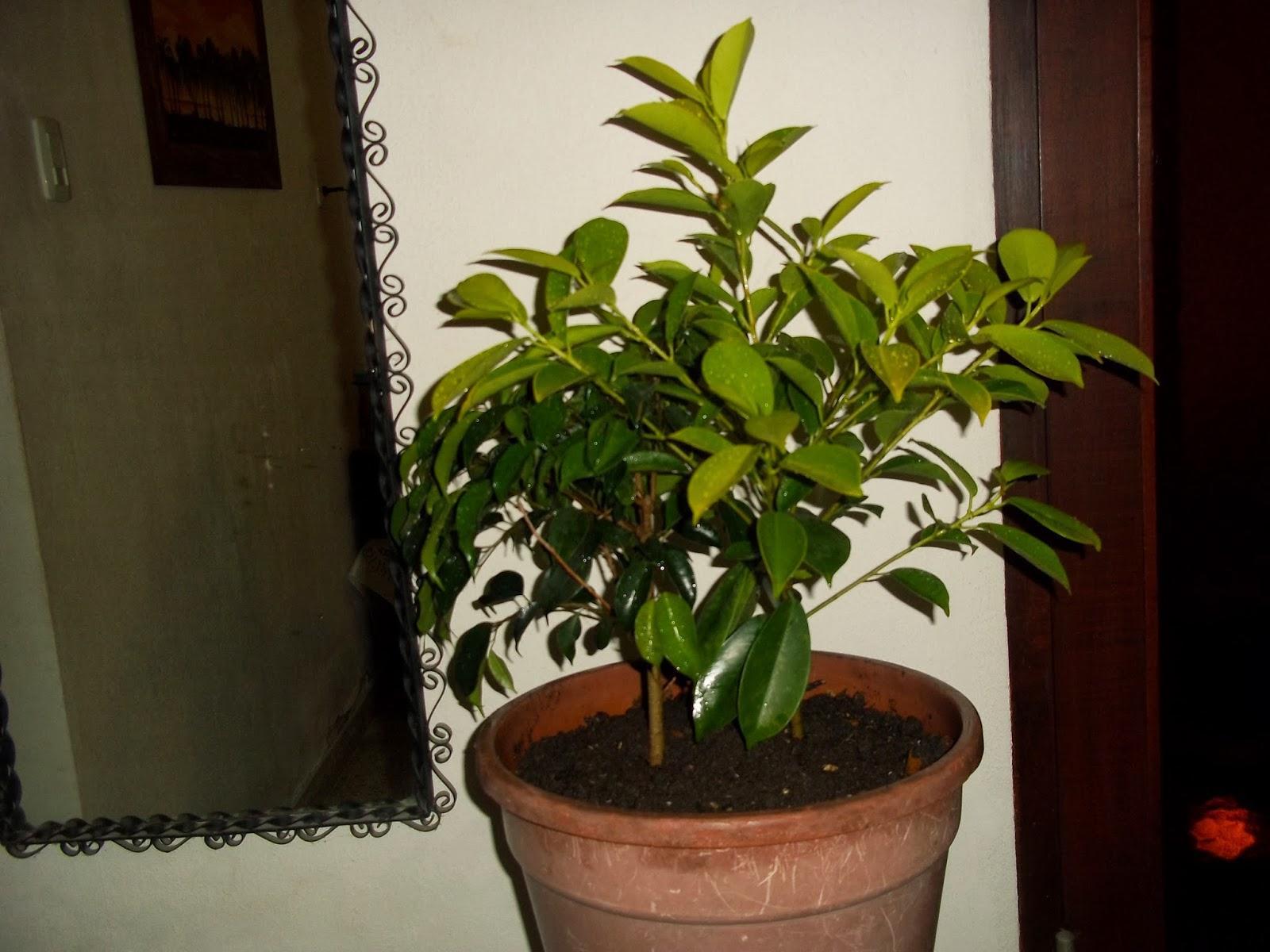 Ficus interior jardin de casa for Ficus interior cuidados